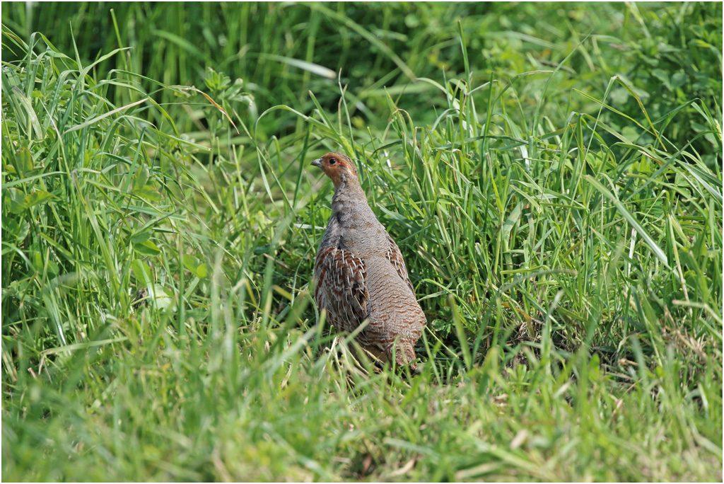 Rapphöna (Grey partridge) vid Solgården, östra Öland