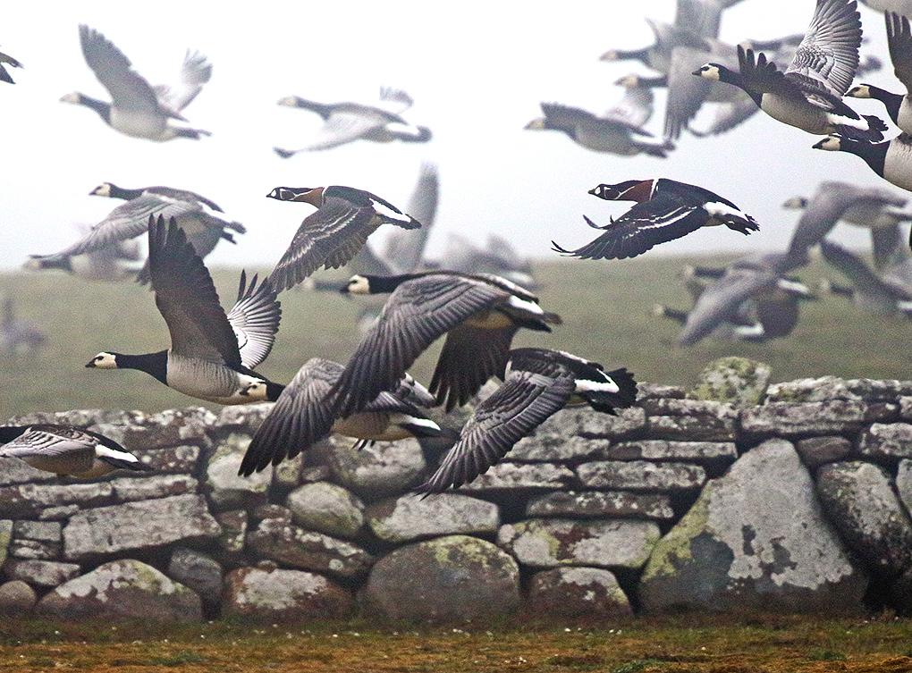 Rödhalsad gås (Red-breasted Goose) längs Fyrvägen Ölands Södra Udde