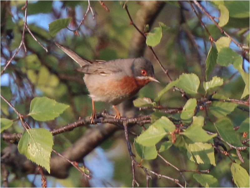 Rödstrupig sångare (Subalpine Warbler) vid Södra Lundsparkeringe, Ottenby på Öland