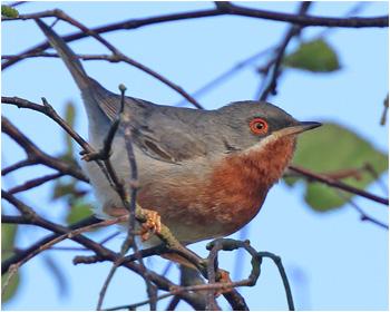 Rödstrupig sångare (Subalpine Warbler) vid Södra Lundsparkeringen, Ottenby, Öland
