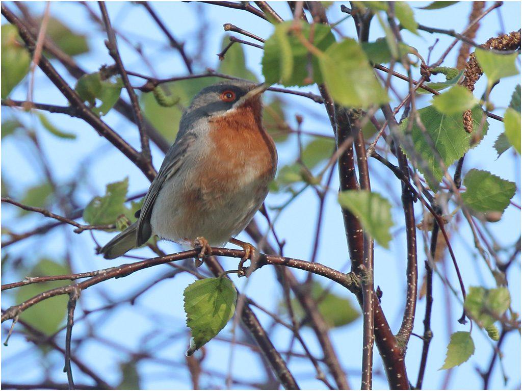 Rödstrupig sångare (Subalpine Warbler) vid Södra Lundsparkeringen, Ottenby på Öland