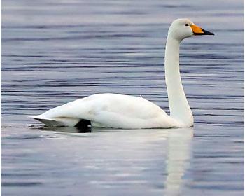 Sångsvan (Whooper Swan) vid Stora Amundö i Göteborg