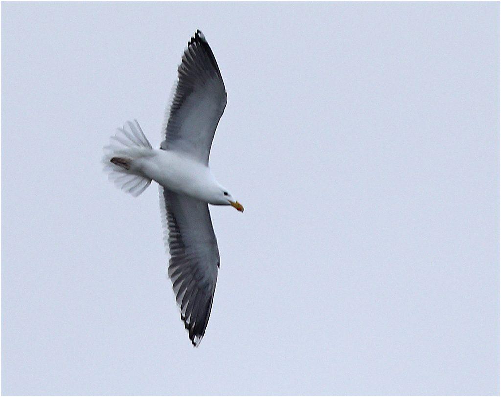 Silltrut (Lesser Black-backed Gull), Stora Amundö, söder om Göteborg