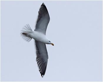 Silltrut (Lesser Black-backed Gull) vid Stora Amundö i Göteborg