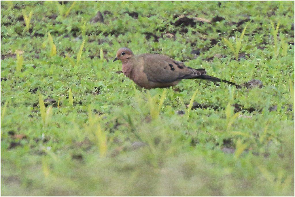 Spetsstjärtad duva (Mourning dove) vid Ventlige, södra Öland