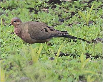 Spetsstjärtad duva - Zenaida macroura - Mourning dove