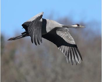 Trana (Common Crane) vid Årekärr, Göteborg