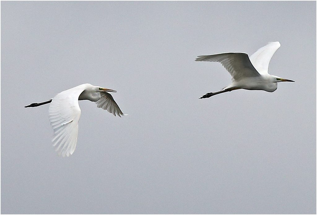 Ägretthäger (Great White Heron) vid Torslandaviken, Göteborg