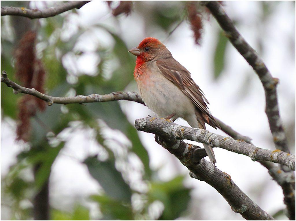 Rosenfink (Common Rosefinch) vid Lusmyren, Borlänge i Dalarna