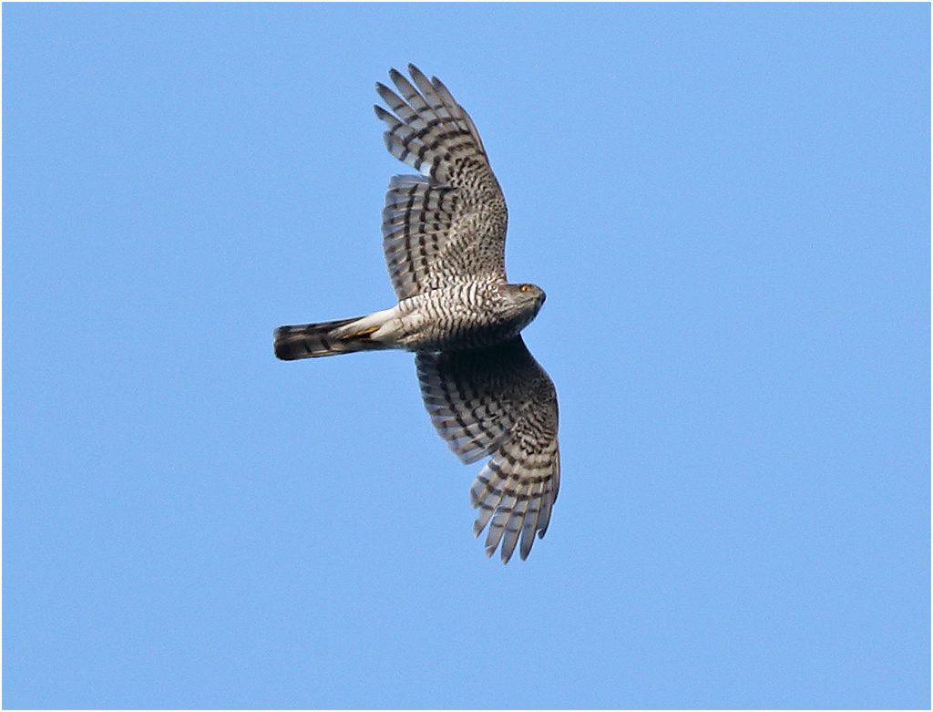 Sparvhök (Sparrowhawk) vid Stora Amundö utanför Göteborg.