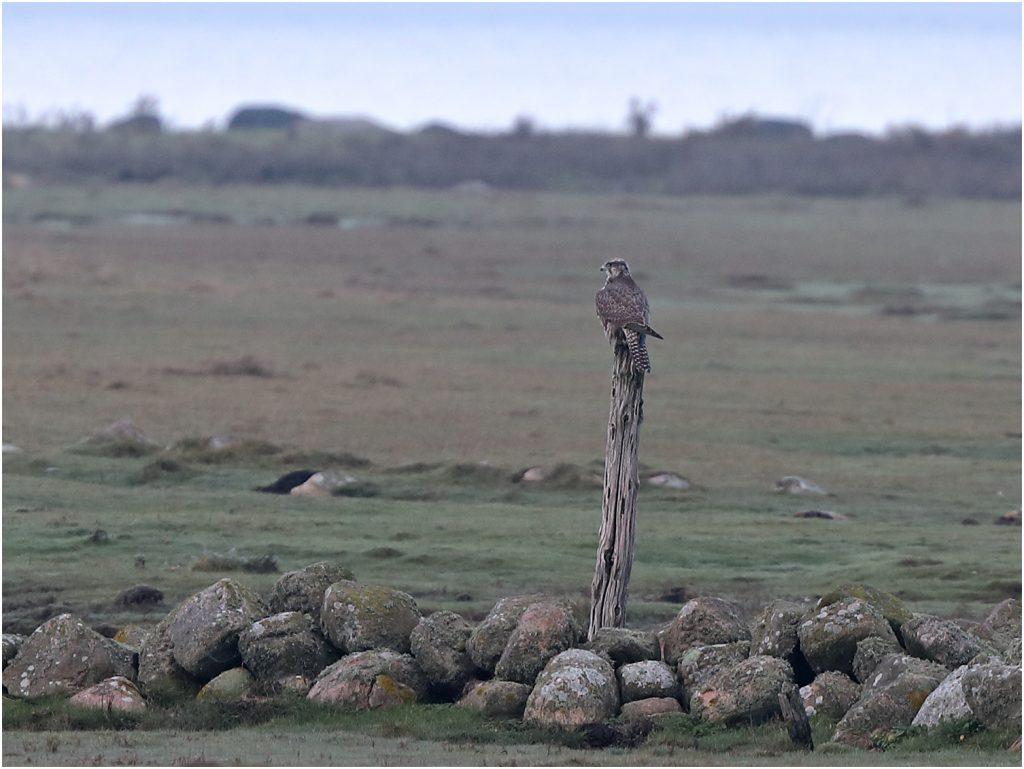 Jaktfalk (Gyr Falcon) vid Galtabäck, söder om Varberg, i Halland