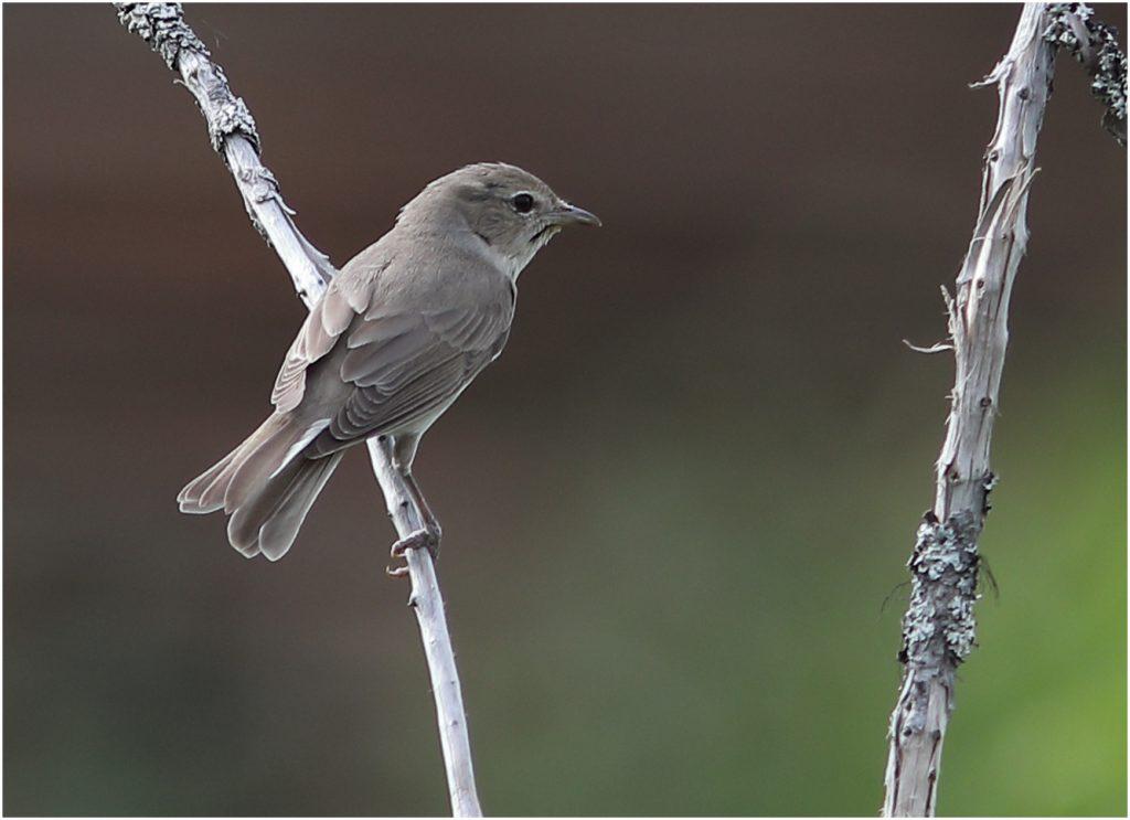 Trädgårdssångare (Garden Warbler) i Gävunda, Dalarna