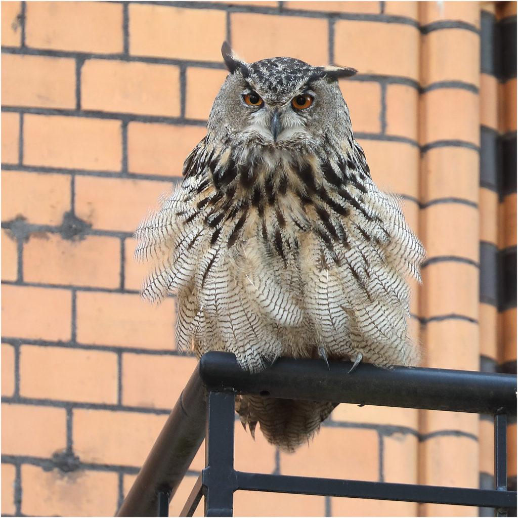 Berguv - Bubo bubo - Eagle Owl vid Storgatan, Göteborg