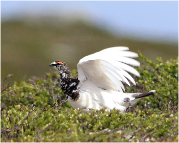 Fjällripa - Lagopus mutus - Rock ptarmigan