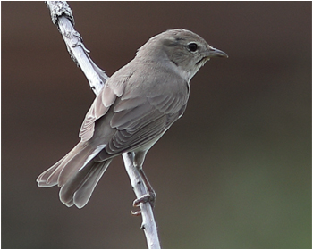 Trädgårdssångare - Sylvia borin - Garden Warbler