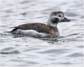 Alfågel (Long-tailed Duck vid Stora Amundön utanför Göteborg