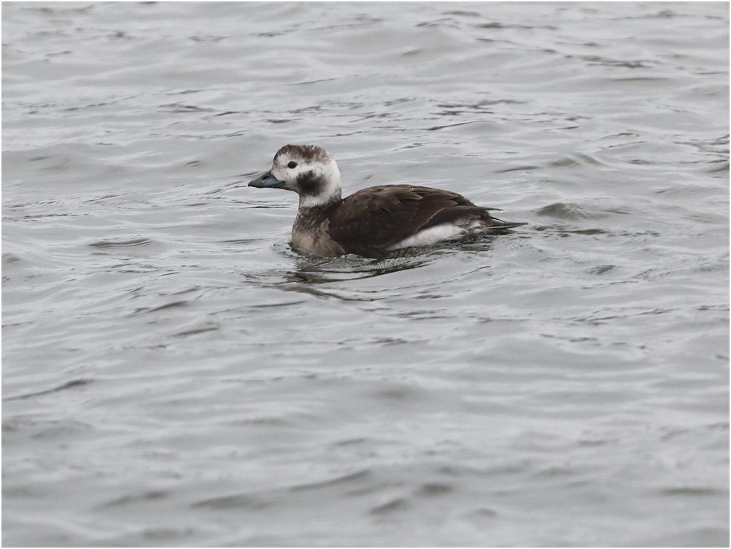 Alfågel (Long-tailed Duck) vid Stora Amundön, söder om Göteborg