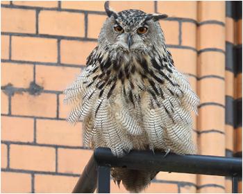Berguv - Bubo bubo - Eagle Owl