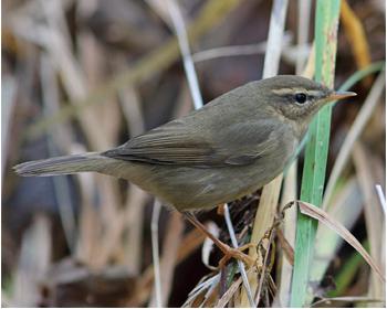 Brunsångare - Phylloscopus fuscatus - Dusky Warbler