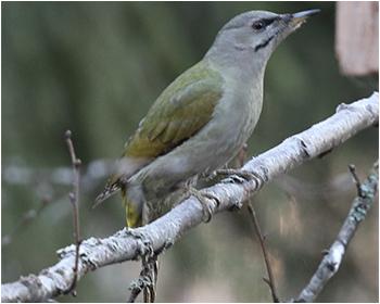 Gråspett (Grey-headed Woodpecker) vid Mossbodarna utanför Borlänge, Dalarna