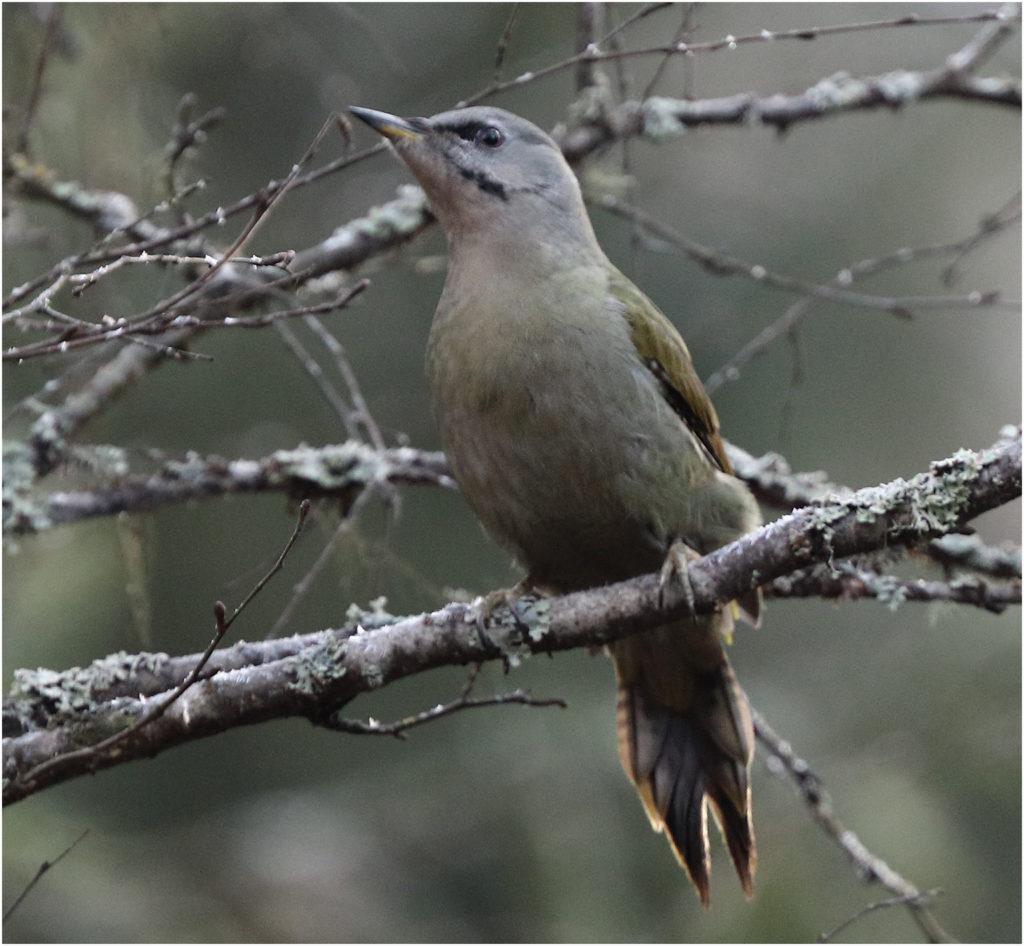 Gråspett (Grey-headed Woodpecker) vid Mossbodarna utanför Borlänge i Dalarna.
