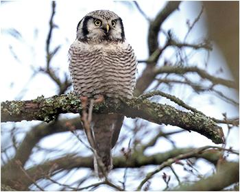 Hökuggla (Northerna Hawk Owl) vid Stora Amundön utanför Göteborg