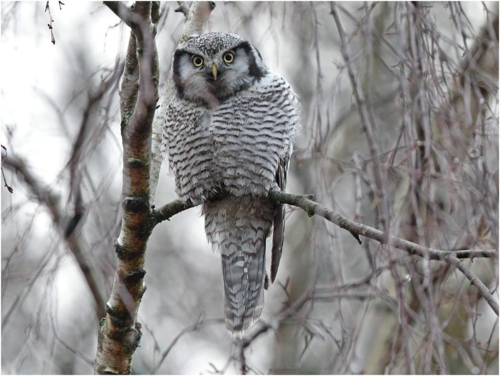 Hökuggla (Northern Hawk Owl) vid Hästhagen, Stora Amundön, söder om Göteborg