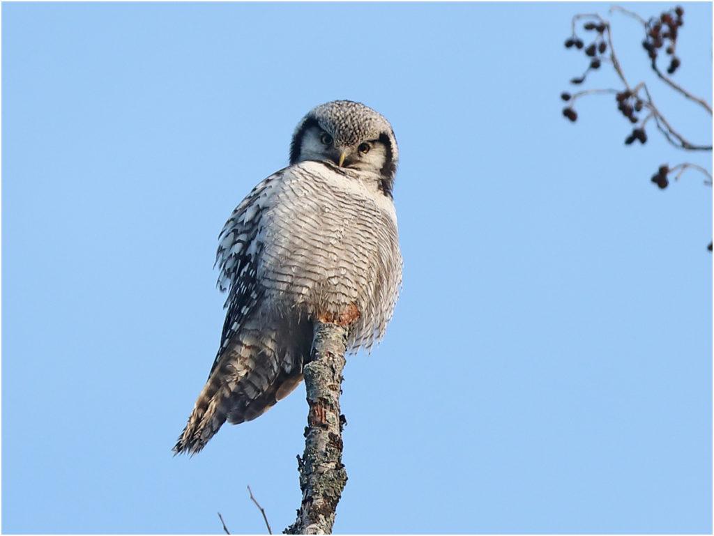 Hökuggla (Northern Hawk Owl) vid Yttre Gerbergsgärdet, Borlänge, Dalarna