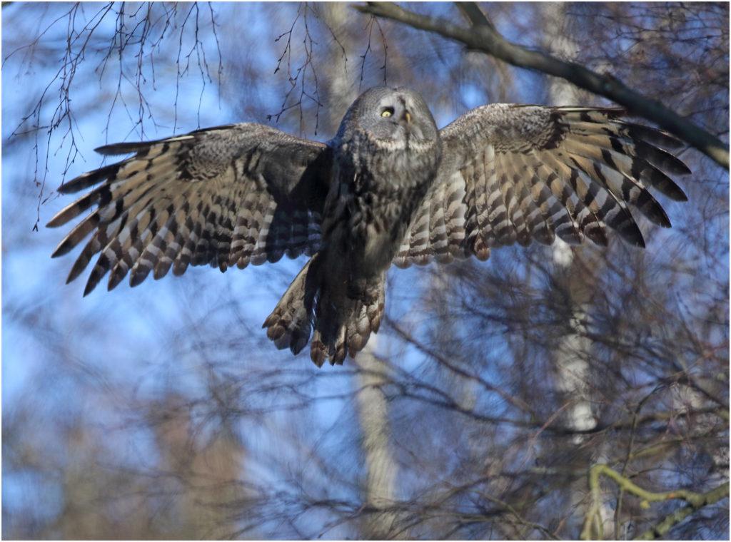 Lappuggla (Great Grey Owl) vid Ryd, Ale i Västergötland