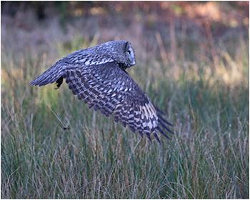 Lappuggla (Great Grey Owl) vid Ryd, Ale