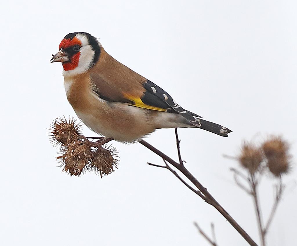 Steglits (European Goldfinch) vid Torslandaviken utanför Göteborg