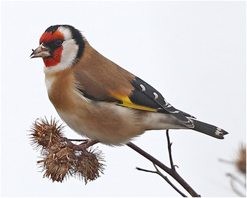 Steglits (European Goldfinch) vid Torslandaviken, Göteborg