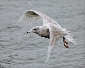 Vittrut (Glaucous Gull) vid Fiskhamnen, Göteborg