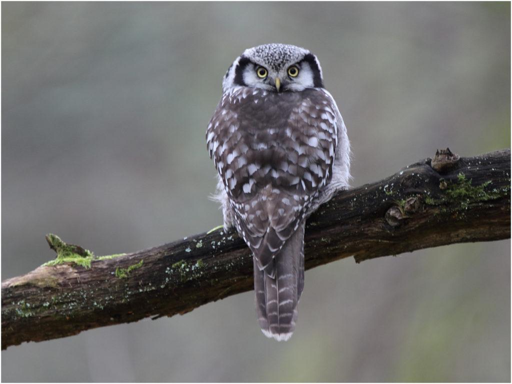 Hökuggla (Northern Hawk Owl) vid Hästhagen, Stora Amundö i Göteborg.