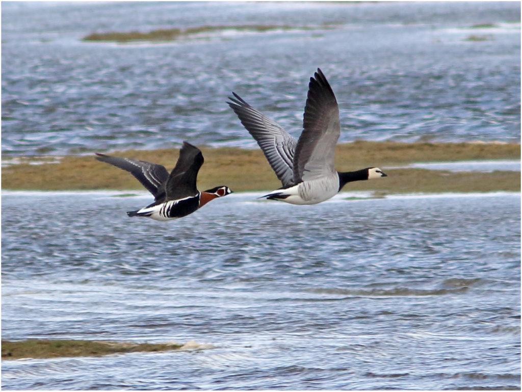 Rödhalsad gås (Red breasted Goose) vid Smedsgård, söder om Varberg, Halland