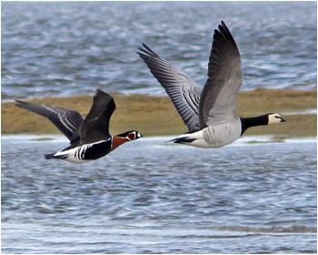 Rödhalsad gås (Red-breasted Goose) vid Smedsgård, Varberg