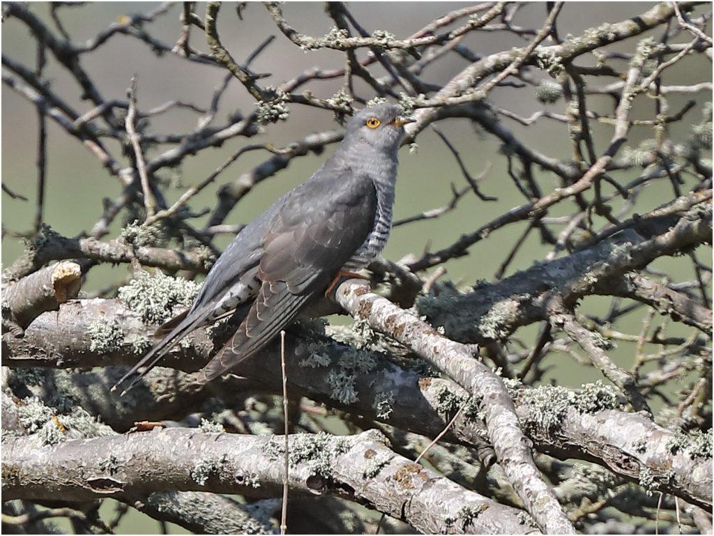 Gök (Cuckoo) vid Sibyllas, Ottenby på Öland