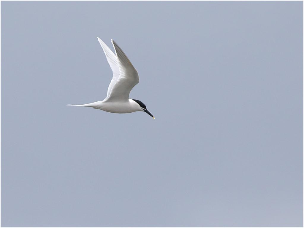Kentsk tärna (Sandwich Tern) vid Ölands Södra Udde