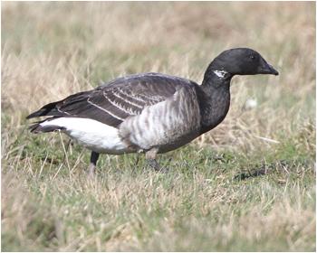Ljusbukig prutgås - Branta bernicla hrota - Pale-bellied Brant Goose