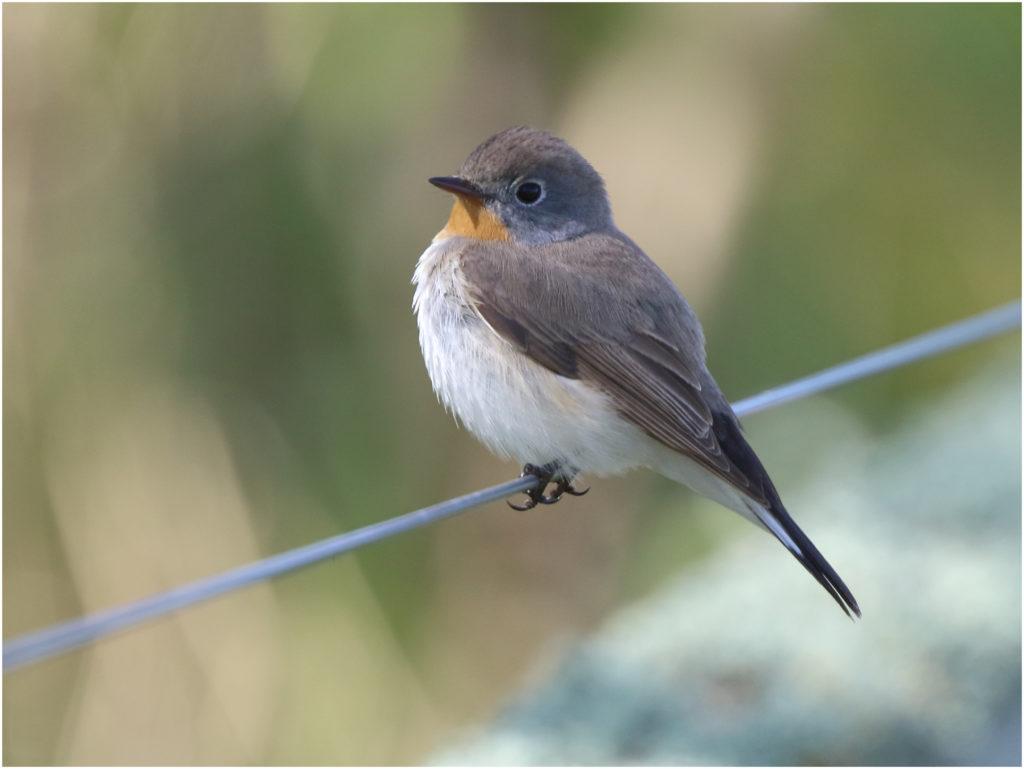 Mindre flugsnappare (Red-breasted Flycatcher) vid Södra Udden, Öland
