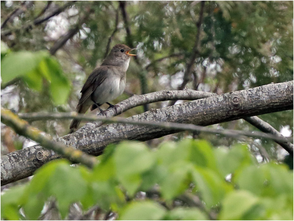 Näktergal (Thrush Nightingale) vid Larmtavlan, Ottenby på Öland