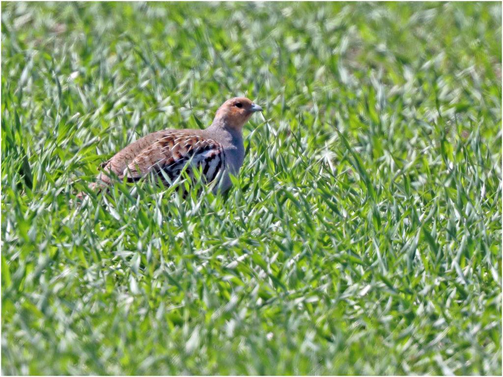 Rapphöna (Grey partridge) nära Segerstad, Öland