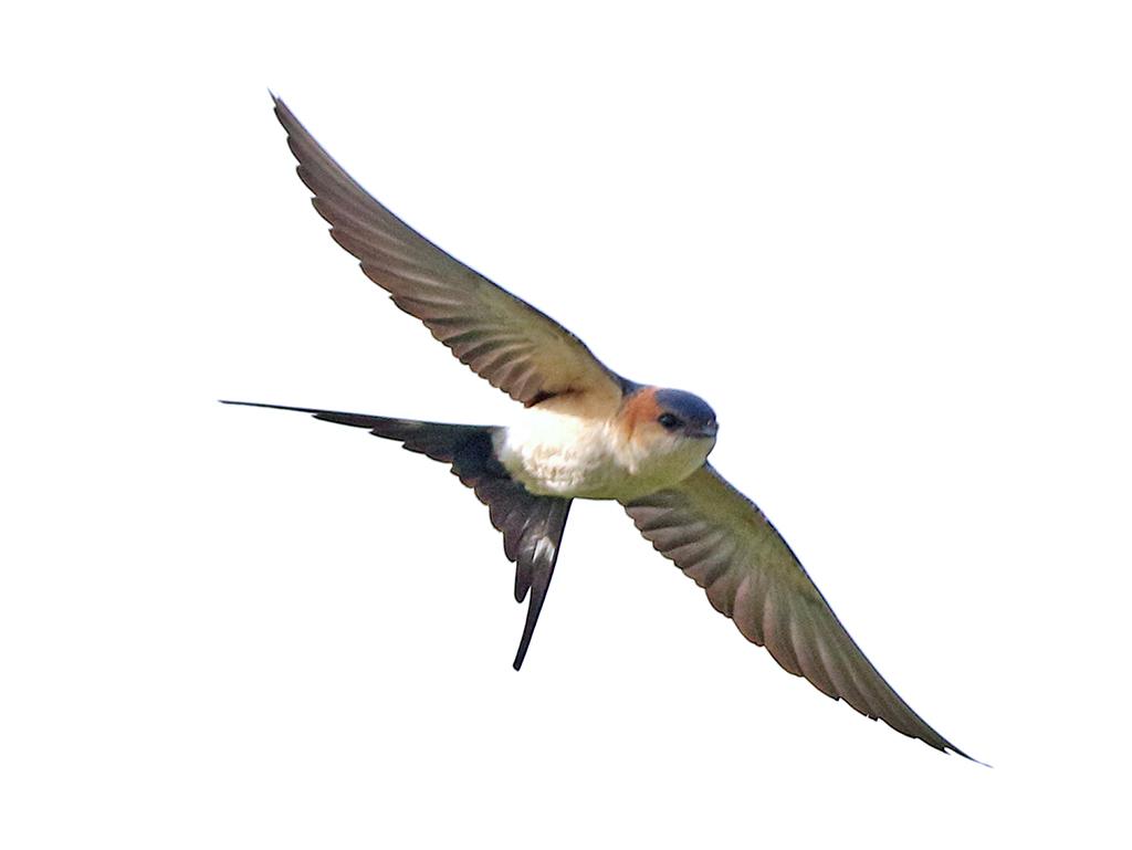 Rostgumpsvala (Red-rumped Swallow) vid Kungsgärden, Ottenby på Öland