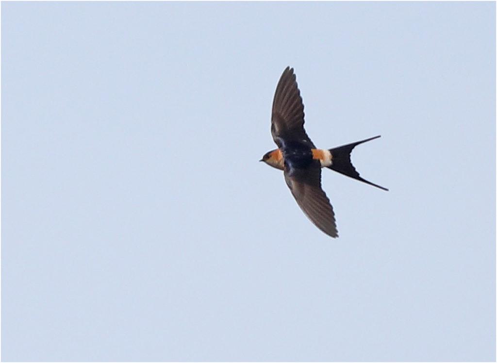 Rostgumpsvala (Red-rumped Swallow) vid Kungsgården, Ottenby på Öland