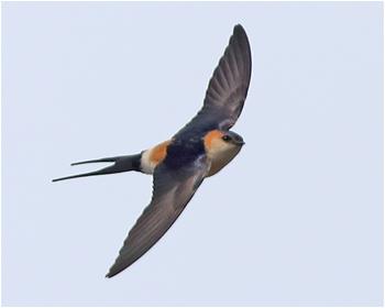 Rostgumpsvala (Red-rumped Swallow) vid Ottenby Kungsgård, Öland