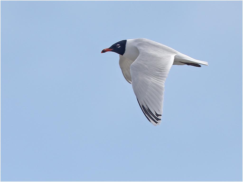 Svarthuvad mås (Mediterranean Gull) vid Träslövsläge, Varberg i Halland