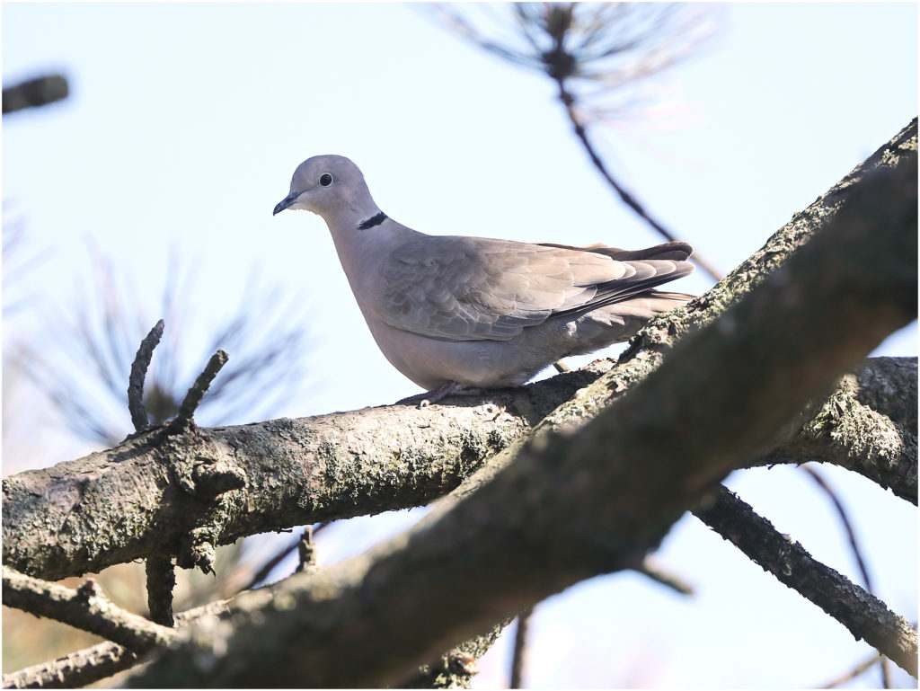 Turkduva (Collared Dove) vid Morups Tånge Fyr, Halland