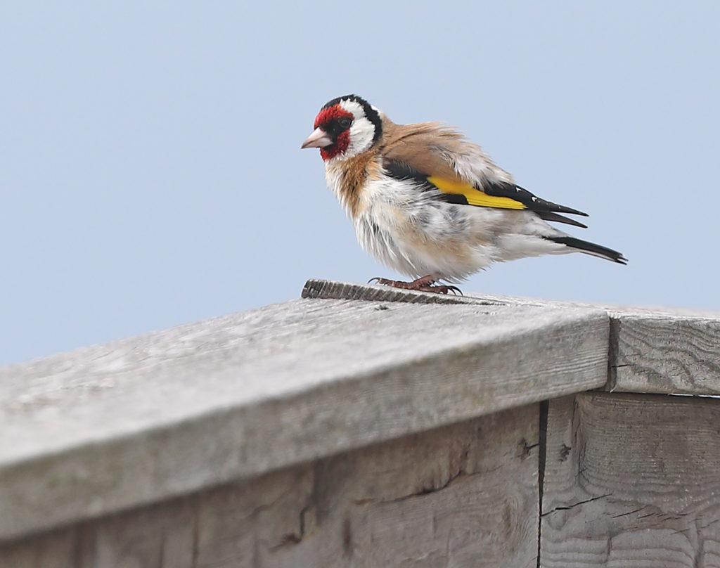 Steglits (European Goldfinch) vid Billdals kyrka, Göteborg