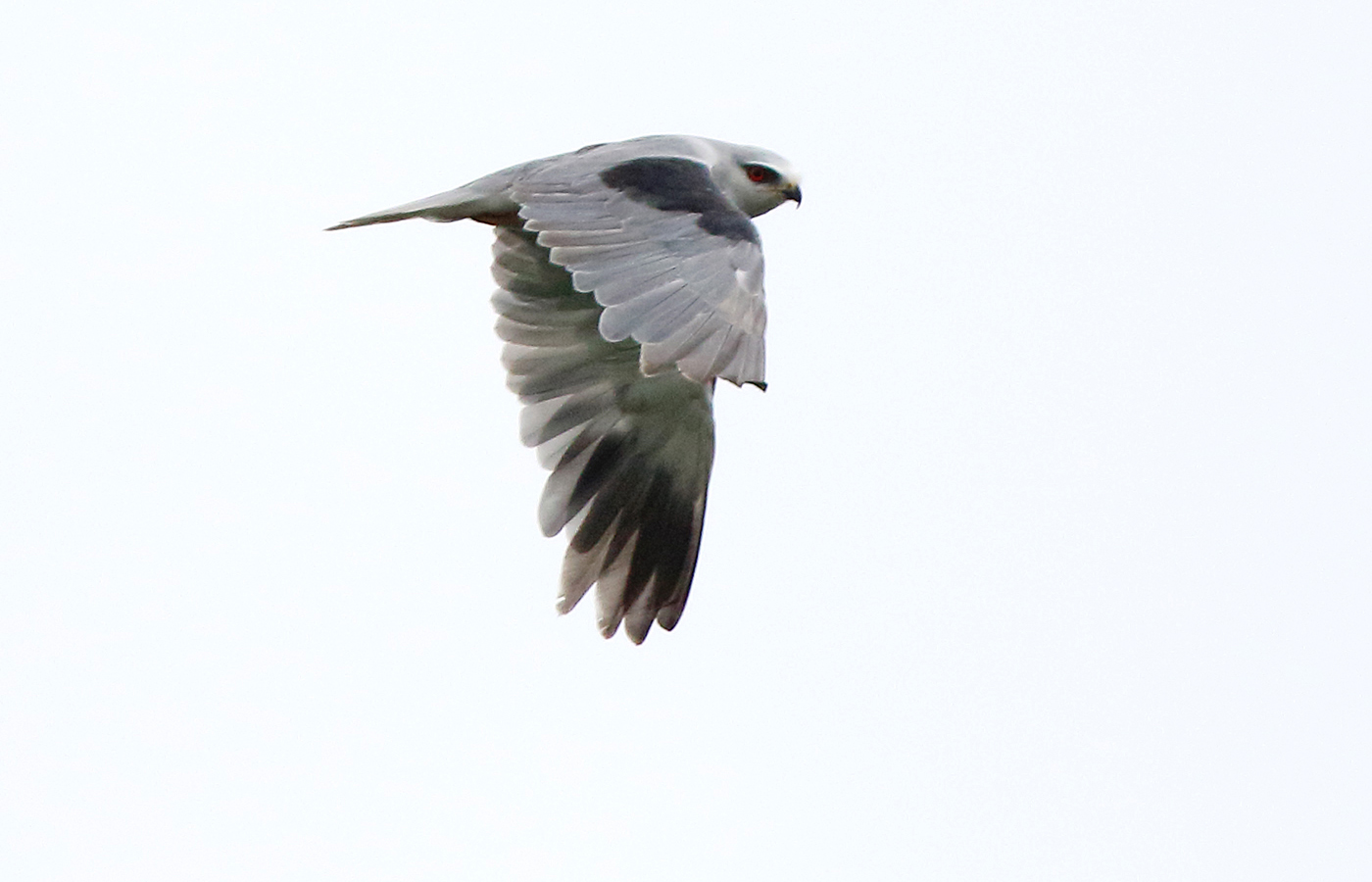 Svartvingad glada (Black-winged Kite) vid Gerum, Tanums Hede i Bohuslän