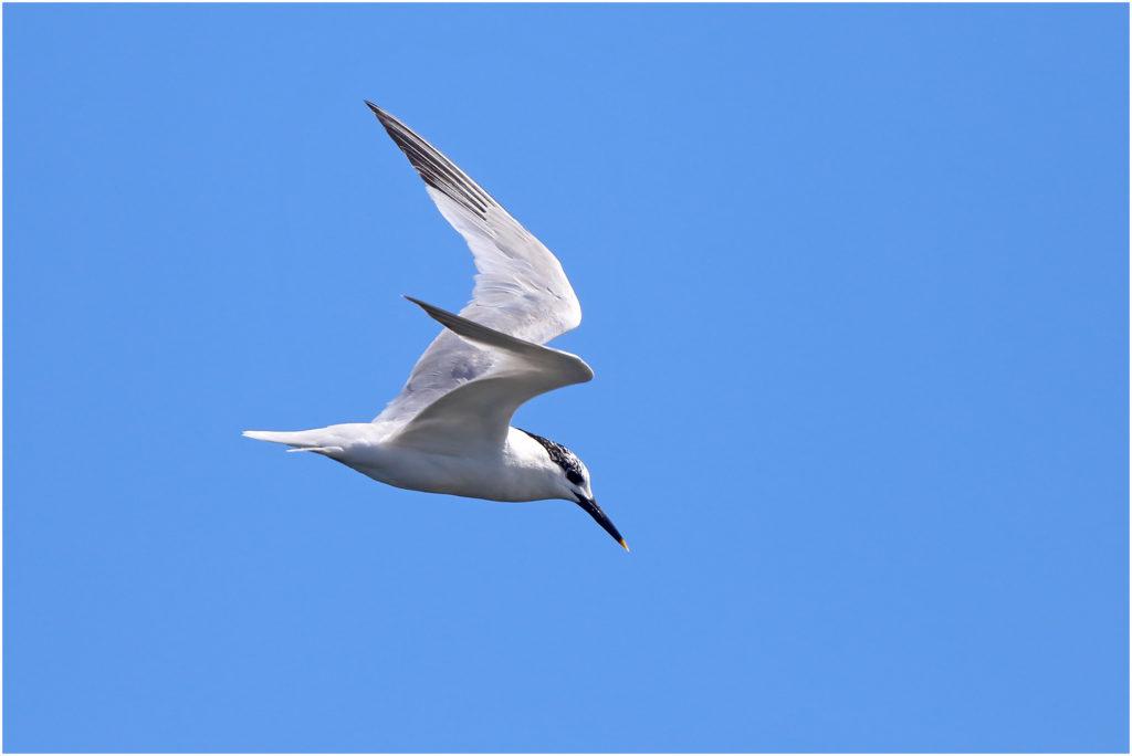 Kentsk tärna (Sandwich Tern) vid Sebybadet. Öland